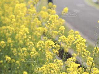 野沢菜の花の写真・画像素材[2011690]