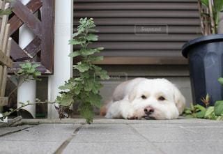 退屈そうに外で寝る犬の写真・画像素材[842812]