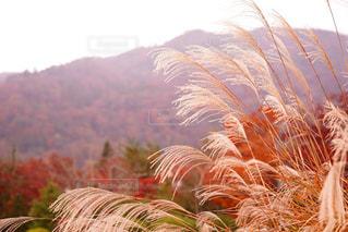 秋のすすき - No.904273