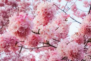 赤白とピンクの花の写真・画像素材[1029948]