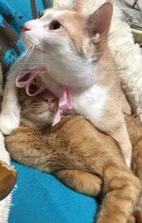 主人の上で寝ている猫の上にのしかかる猫の写真・画像素材[999408]