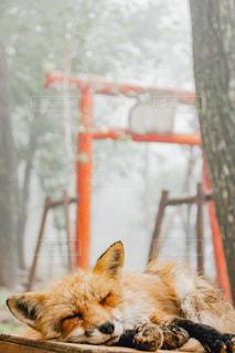 オレンジと白のフォックスの写真・画像素材[843683]