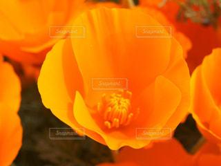 花のクローズアップ・ポピー (Poppy California)の写真・画像素材[857170]