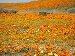 ポピー 畑 (Poppy field)の写真・画像素材[873858]