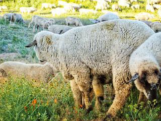 羊の群れが大移動 壮観!の写真・画像素材[873859]