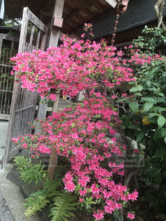 趣のある木戸にツツジの美しい姿が良く似合ってました。の写真・画像素材[2167812]
