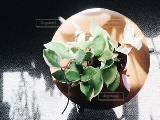 陽に当たるホヤカルノーサの写真・画像素材[844688]