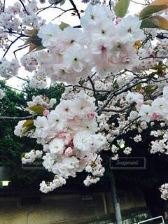 桜のアップの写真・画像素材[844939]