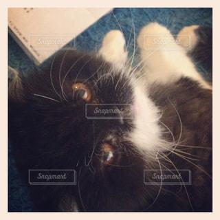 横になって、カメラを見ている猫の写真・画像素材[845041]