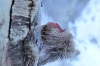 温泉につかる猿の写真・画像素材[845054]