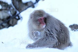 雪を食べる猿の写真・画像素材[845058]