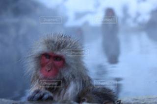 近くに猿のアップの写真・画像素材[845061]