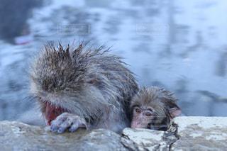 温泉に入る親子の猿の写真・画像素材[845062]