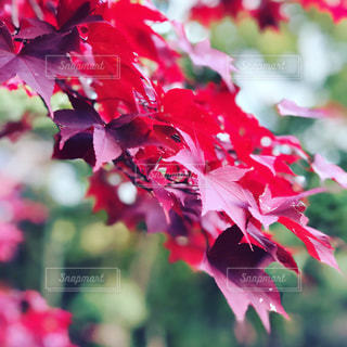 紅葉の写真・画像素材[885889]