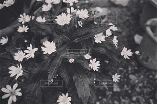 モノクロのお花。の写真・画像素材[847490]