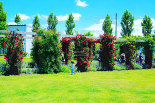 天気の良いバラ庭園。の写真・画像素材[847502]