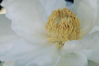白いお花のアップ。の写真・画像素材[847510]