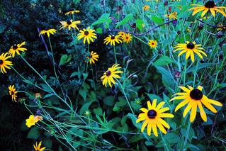 黄色の花の写真・画像素材[871900]