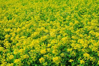 一面の菜の花畑の写真・画像素材[2303540]