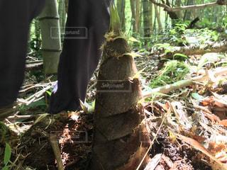 山に生えているタケノコの写真・画像素材[3321401]