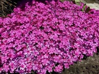 ピンク色の芝桜のクローズアップの写真・画像素材[3321425]