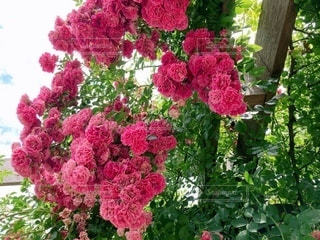 薔薇のクローズアップの写真・画像素材[3633468]