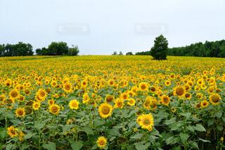 ひまわり畑の写真・画像素材[846048]