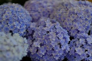 紫陽花の写真・画像素材[846056]