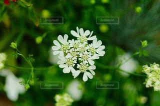 紫陽花の写真・画像素材[846057]