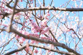 桜の写真・画像素材[846129]