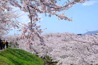 桜の写真・画像素材[846131]