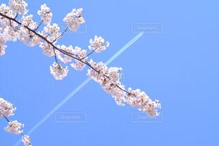 飛行機雲と桜の写真・画像素材[846132]