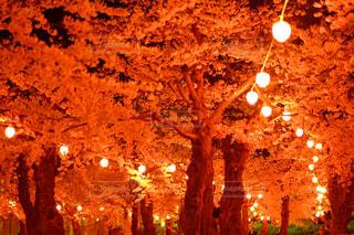 夜桜と灯りの写真・画像素材[846143]