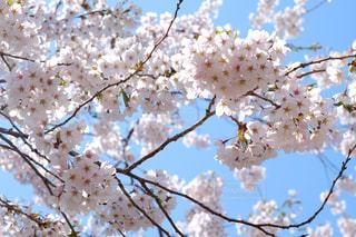 桜の写真・画像素材[846148]