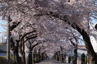 桜並木の写真・画像素材[846154]