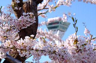 桜とタワーの写真・画像素材[846155]