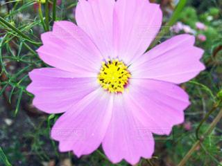 ピンクの花アップの写真・画像素材[849331]