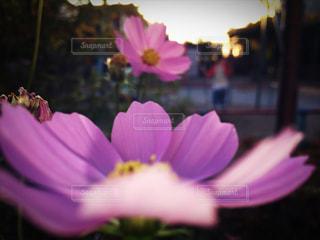 夕方にピンクの花と公園の写真・画像素材[849333]