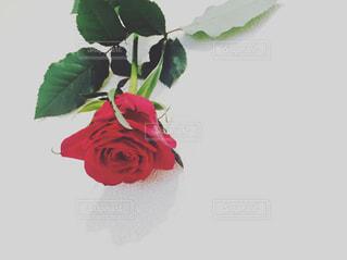 赤い薔薇の写真・画像素材[897179]
