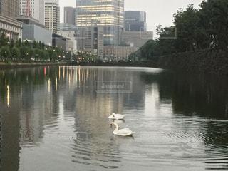 皇居の白鳥の写真・画像素材[847189]