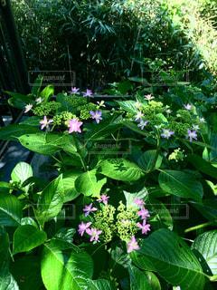 紫陽花の開花の写真・画像素材[2156778]