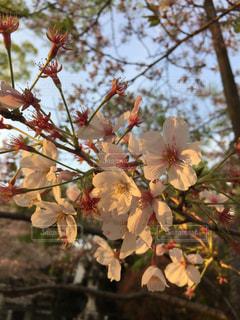 桜暮れるの写真・画像素材[847132]