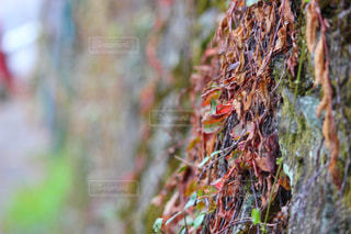 岩壁に生えばむつる草の写真・画像素材[847326]