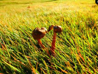 芝生のきのこの写真・画像素材[847631]