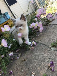 ピンクの花のポットの上に横たわる猫の写真・画像素材[1207477]