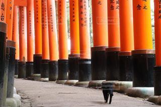 千本鳥居を歩く猫の写真・画像素材[2901003]