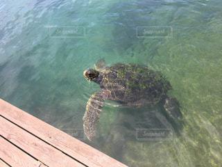ウミガメの写真・画像素材[850441]