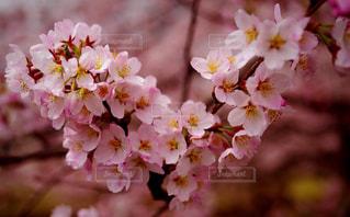 近くの花のアップ桜の写真・画像素材[850800]
