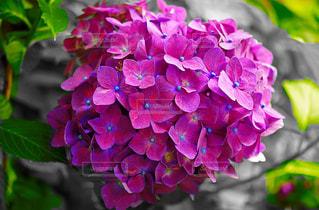 紫陽花のアップの写真・画像素材[850801]