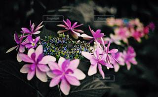 紫陽花の写真・画像素材[850802]